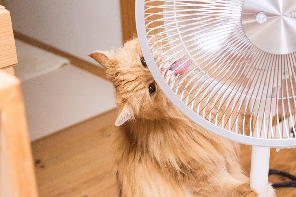 チイ扇風機なめる