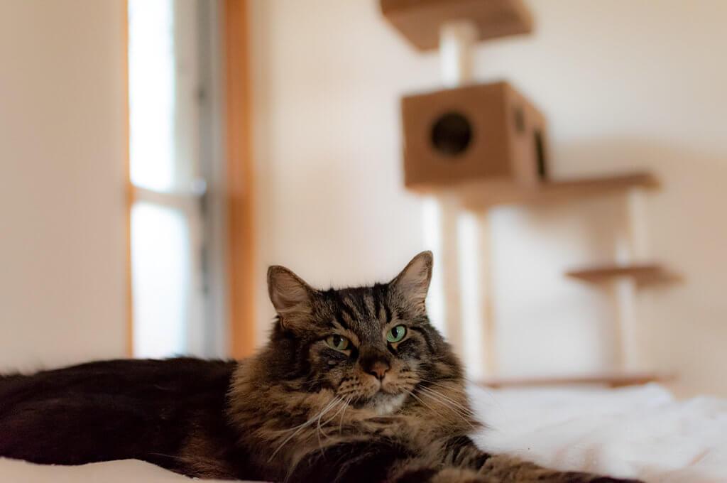 ベッドでくつろぐ猫、ムサシ