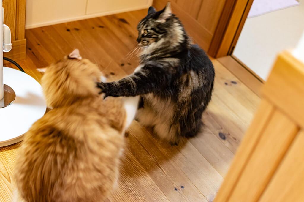 猫が喧嘩をする、ねこのパンチ