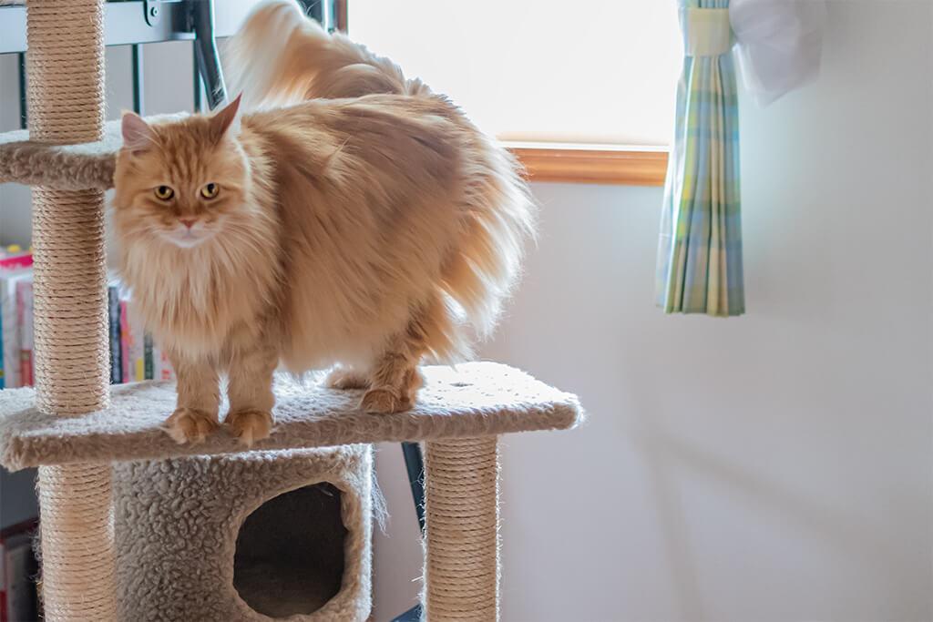 室内飼い猫のキャットタワー、チイ