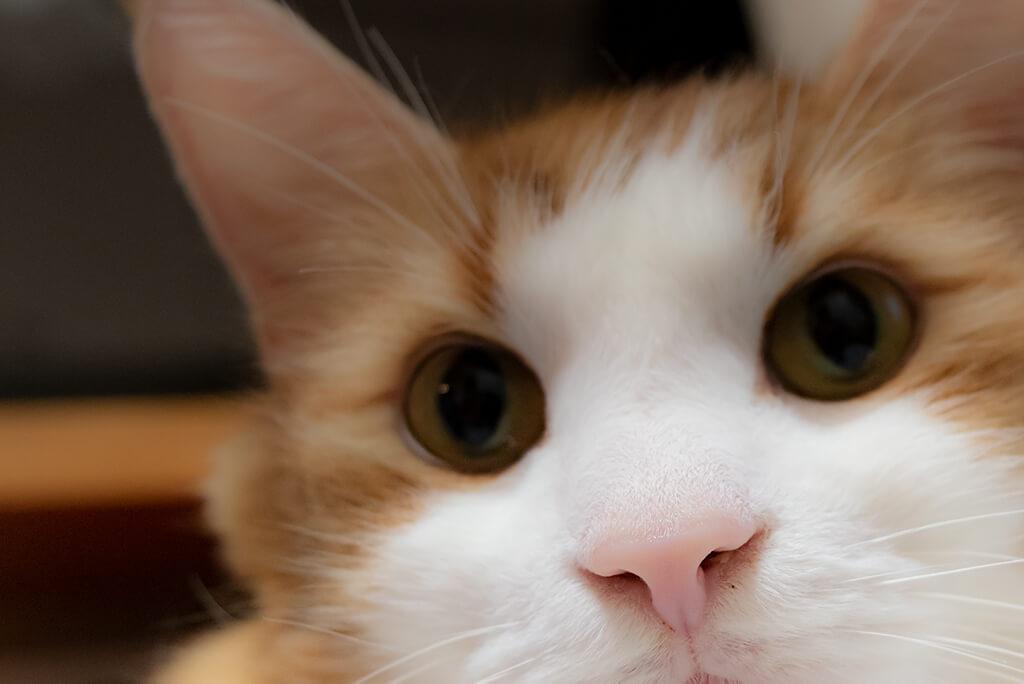 猫の鼻の色