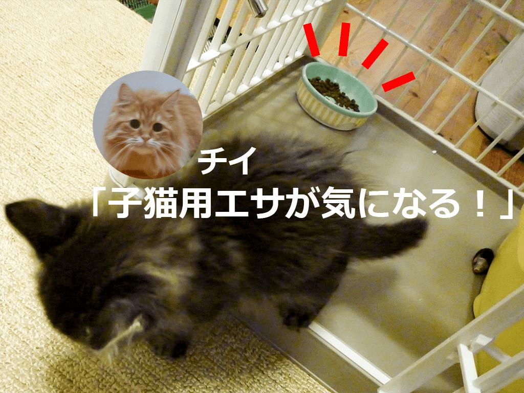 チイ、ムサシの子猫用エサが気になってる