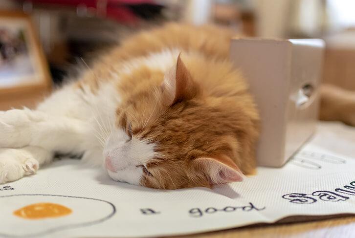 食卓テーブルで寝始めますコタロウ