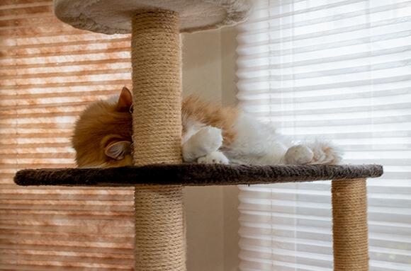 コタロウ_キャットタワーでまぶしい寝